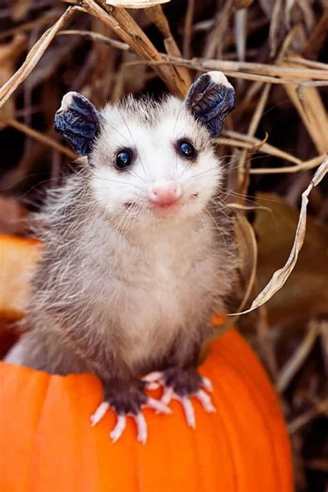 15 Incredibly Cute Photos Of Possums And Opossums