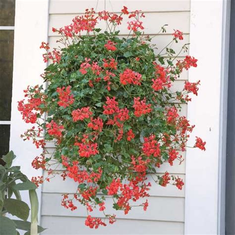 Swiss Balcony 'Balcon Royale Red' Geranium for sale at Logee's
