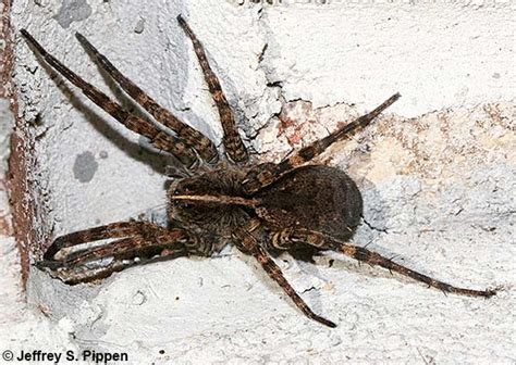 Wolf Spiders (Lycosidae)
